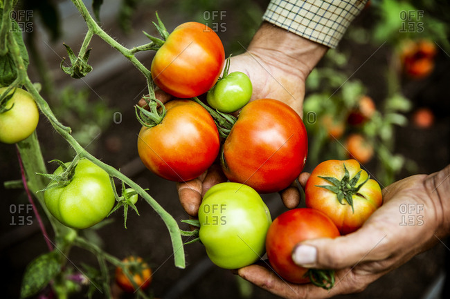 High angle close up of farmer holding bunch of fresh tomatoes.