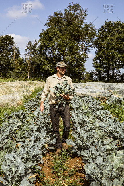 Smiling farmer walking in a field, carrying freshly harvested broccoli.