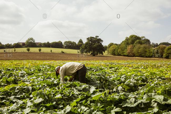 Farmer standing in a field, harvesting pumpkins.