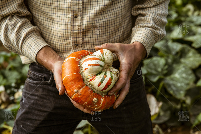 Close up of farmer holding Turkish Turban pumpkin.