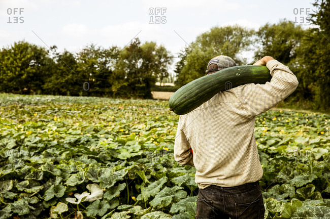 Rear view of farmer standing in a field, carrying large green pumpkin on his shoulder.