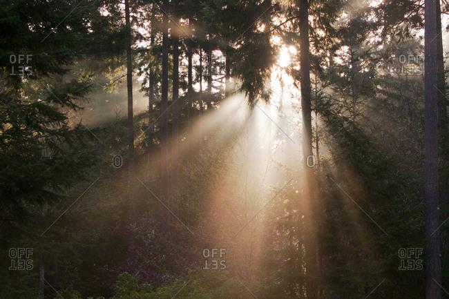 Sun shining through the evergreen trees at sunrise.