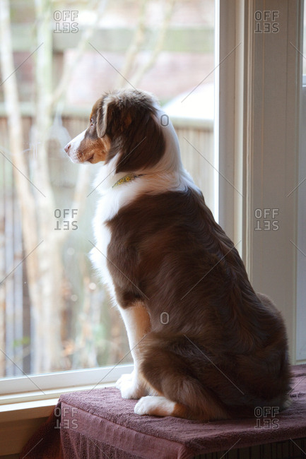 Male Australian Shepherd standing in fron of a windown waiting for his owner to come home.