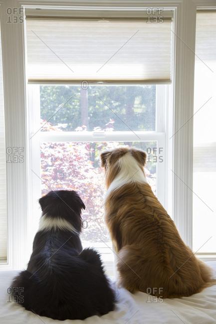 Two male Australian Shepherd dogs sitting at a window looking out, rear view.