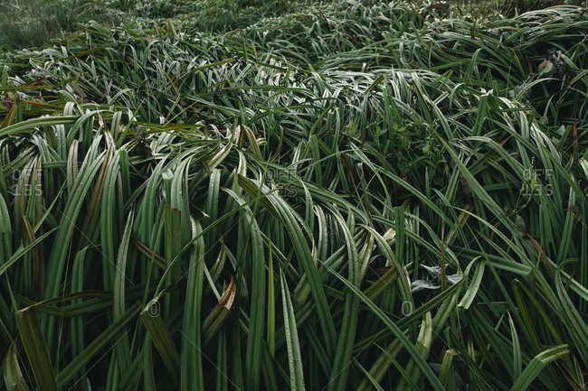 Detail of windswept marsh grasses, Point Reyes National Seashore, California, USA.
