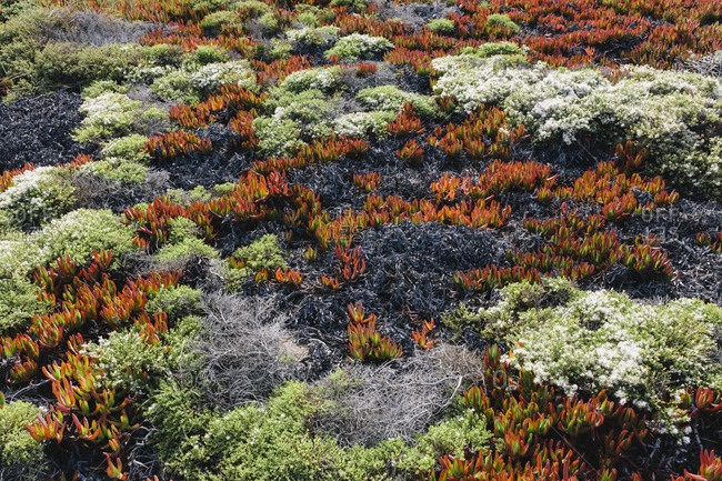Hillside covered in iceplant with red foliage and other shrubs in autumn, Point Reyes National Seashore