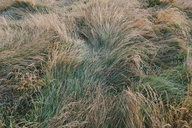Dry meadow grasses at dawn, Tomales Bay, Point  Reyes National Seashore, California, USA.