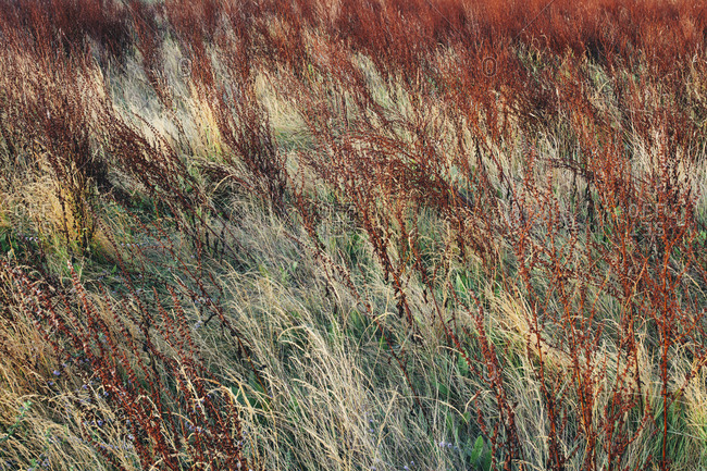 Dry meadow grasses at dawn, Tomales Bay, Point  Reyes National Seashore, California, USA.