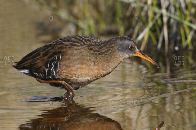 Virginia rail, shore bird