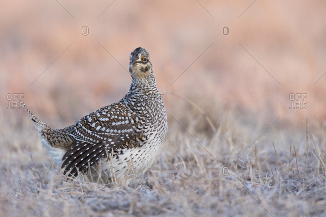 Sharp-tailed grouse at sunrise