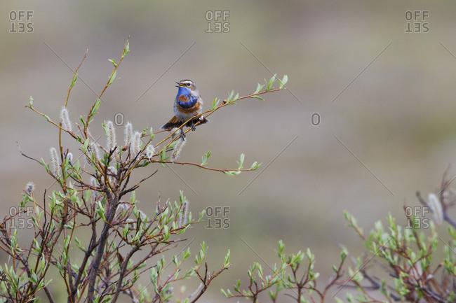 Bluethroat singing, Alaska