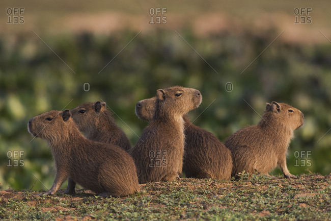 Capybara youngsters standing guard