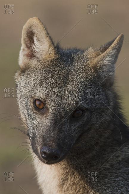 Crab-eating fox close-up
