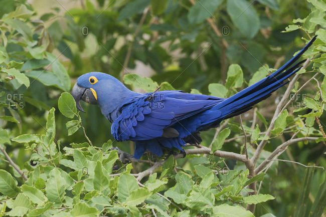 Hyacinth macaw, South America