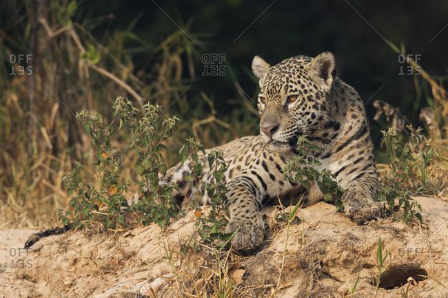 Jaguar resting on rivers edge