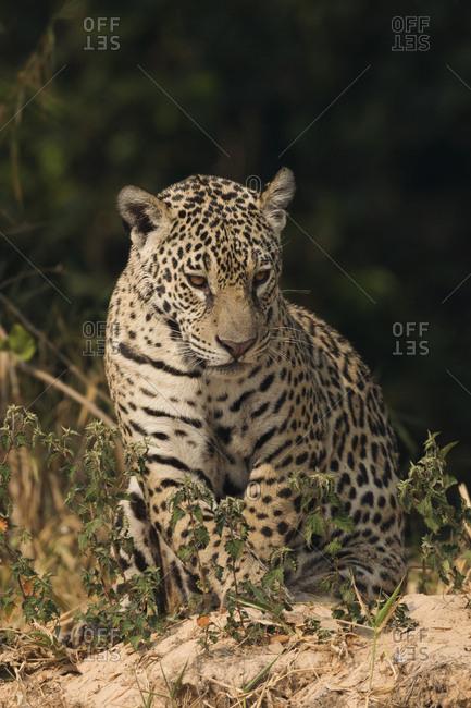 Jaguar, Big Cat - Offset Collection