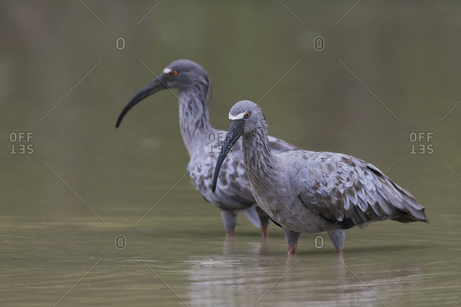 Plumbeous Ibis foraging - Offset Collection