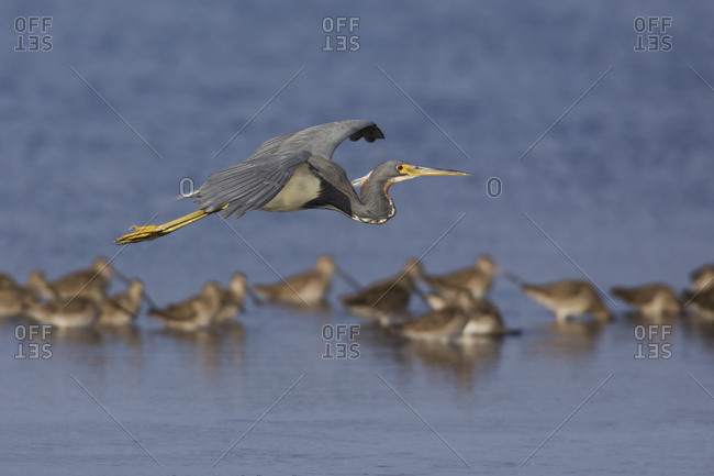 Tri-colored heron fly-over