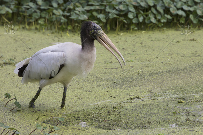 Wood stork foraging - Offset Collection