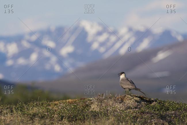 Long-tailed jaeger, sub-arctic landscape - Offset