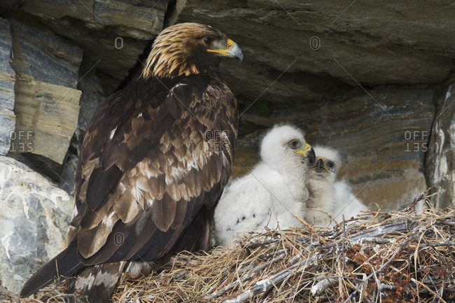 Golden eagle with chicks at nest