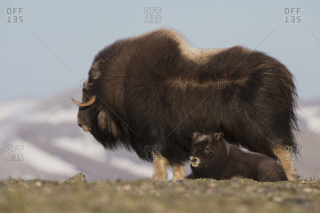Musk ox with resting calf