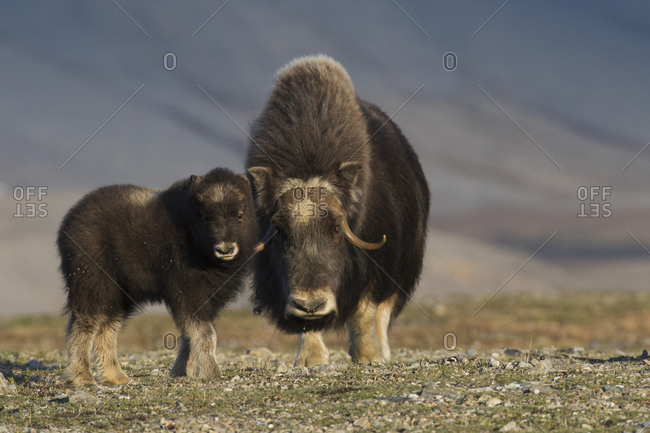 Musk ox with calf