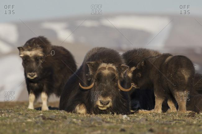 Musk ox, Arctic tundra
