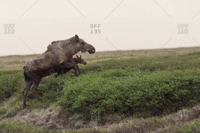 Alaskan moose cow escaping danger with newborn calf