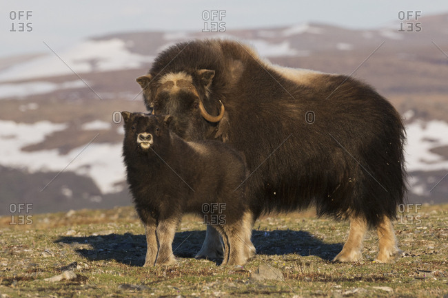 Musk ox mother and yearling