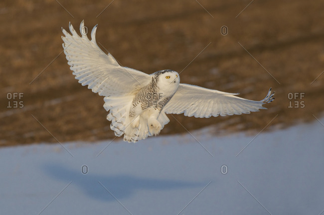 Snowy owl winter hunting in farmers field