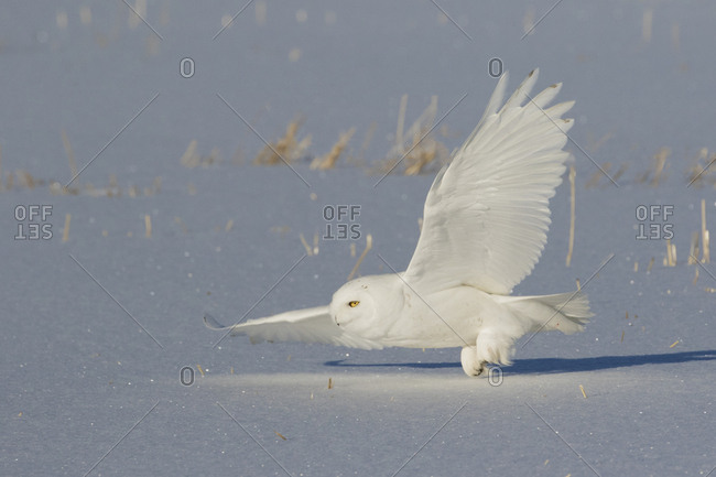 Snowy owl hunting (male)