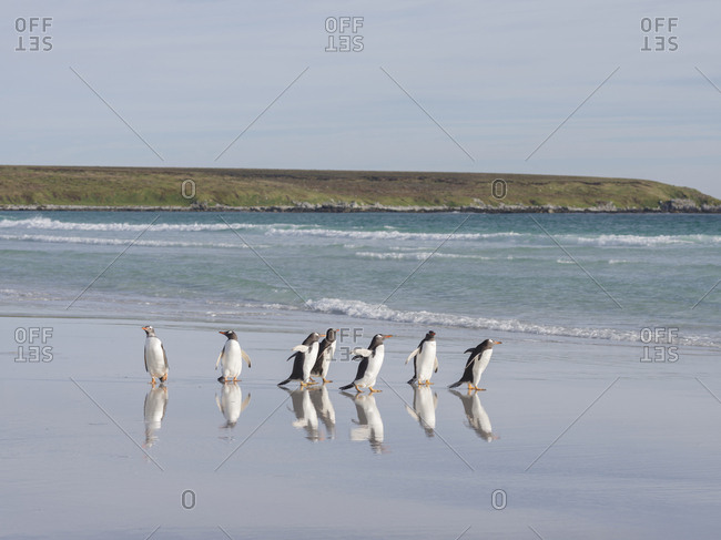 Gentoo Penguin (Pygoscelis Papua) on the sandy beach of Volunteer Point. South America, Falkland Islands