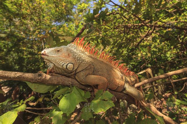 Green Iguana Farm, East End of Roatan, Bay Islands, Honduras