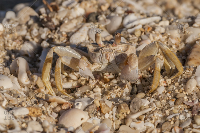Mexico, Baja California Sur, Isla San Jose. Ghost crab on rocky beach.