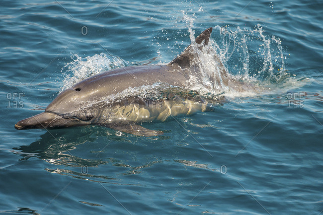 Baja, Sea of Cortez, Gulf of California, Mexico. A Long-beaked common dolphin surfaces.