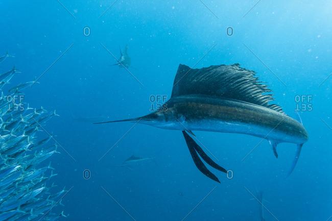 Sailfish (Istiophorus albicans) feeding on Brazilian Sardines (Sardinella brasiliensis) about 10 miles offshore from Isla Mujeres, Yucatan Peninsula, Mexico