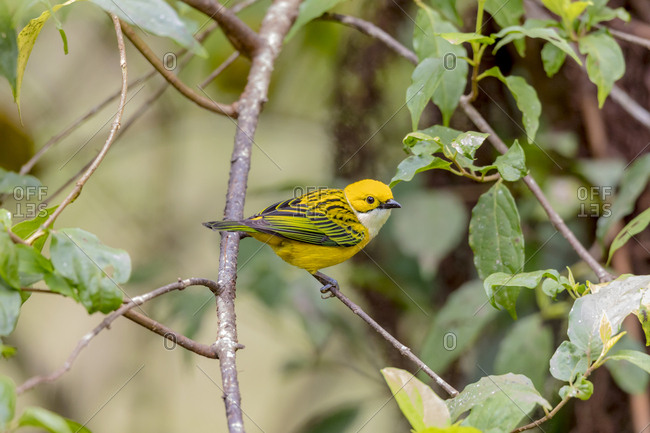 Central America, Costa Rica. Male silver-throated tanager in tree.