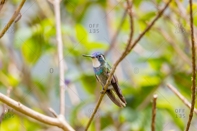 Central America, Costa Rica. Male grey-tailed mountaingem.