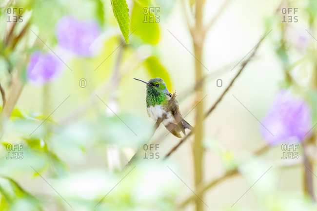 Central America, Costa Rica. Male snowy-bellied hummingbird.