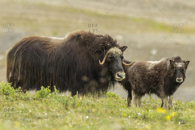 USA, Alaska, Nome. Musk ox cow and calf.
