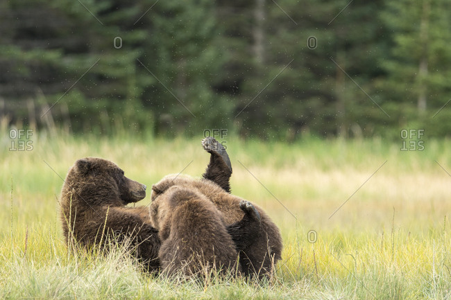 A brown bear, also called grizzly bear (Ursus Arctos) nurses her cubs in Lake Clark National Park, Alaska.
