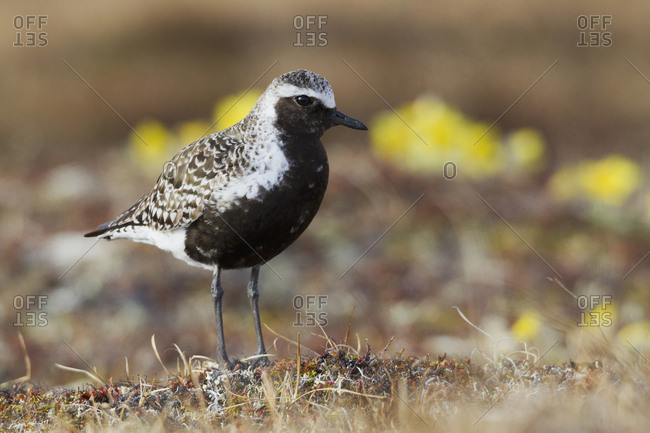 Black-bellied plover, Arctic Tundra