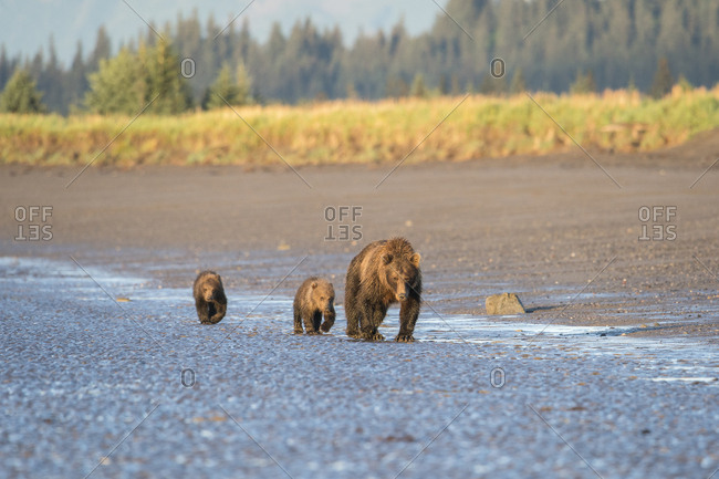 A mother brown bear (Ursus Arctos) walks with her two cubs along the tidal edge of the ocean in Lake Clark National Park, Alaska.