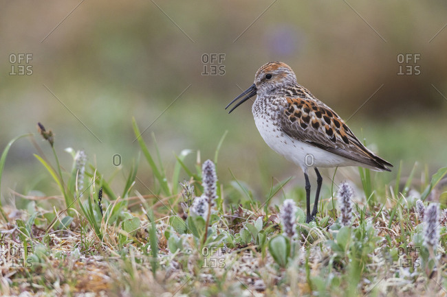 Western sandpiper, calling on arctic nesting grounds