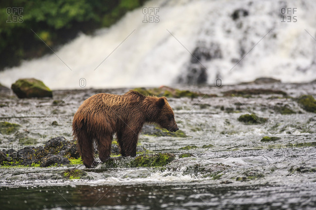 Young Brown Bear (Ursus Arctos) fishing for spawning salmon at Freshwater Bay creek, Tenakee Inlet, Chichagof Island, Tongass National Forest, Inside Passage, Alaska, USA
