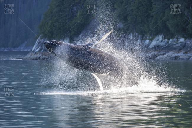 Breaching Humpback Whale (Megaptera novaeangliae),Tracy Arm, Tongass National Forest, Inside Passage, Alaska, USA