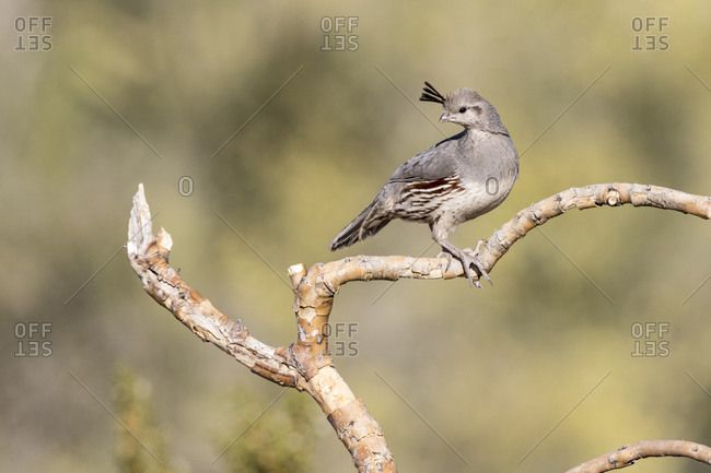 USA, Buckeye, Arizona. Gambel's quail on a branch.