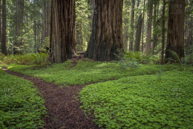 USA, California, Jedediah Smith Redwoods State Park. Redwood trees scenic.