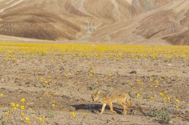 California. A coyote, Canis Latrans, walks through blooming desert marigolds in Death Valley during Spring's super bloom of 2016.